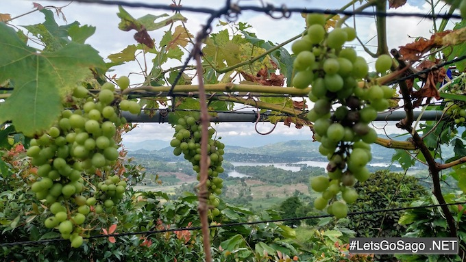 Sebul Grapes
